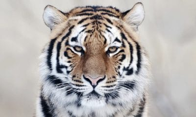 tigermark